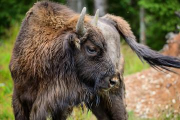 Fototapeta European Bison in the forest. Wisent. Bison bonasus