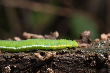 Caterpillar (The common grass yellow)