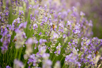 Lavender and Bees 3