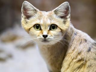 Sand cat, Felis margarita, is a beautiful desert cat