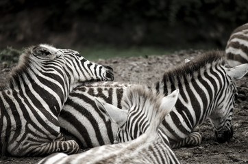 Cebras descansando