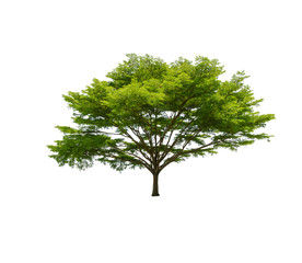 big tree isolated on white for decoration in home and garden design.