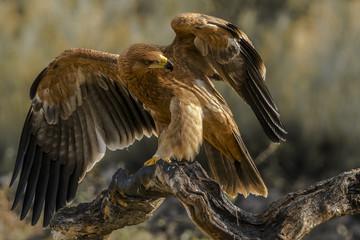 Türaufkleber Adler spanish imperial eagle