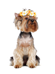 Pretty Yorkshire Terrier puppy in a flower headband on white looking up