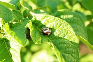 Colorado beetle on the potato plant, closeup