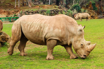 White rhinoceros or White Rhino, Ceratotherium simum, with big horn in Cabarceno Natural Park