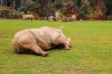 White rhinoceros or White Rhino, Ceratotherium simum, with big horn in Cabarceno Natural Park