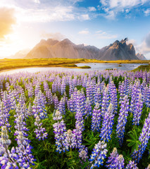 Great  view of  lupine flowers. Location place Stokksnes cape, Vestrahorn, Iceland, Europe.