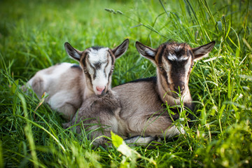 A beautiful photo of two little goats that lie together in grass