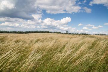 Fototapeta Trawa powiewa na wietrze obraz
