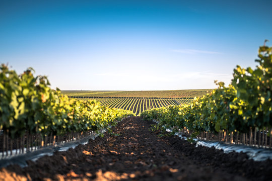Golden German Summer Vineyards