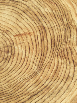 Close up cross section of cut evergreen tree, focus on tree rings
