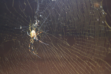 Golden Orb Spider with Web