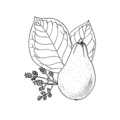 Monochrome vector illustration drawing of avocado Persea Americana on white