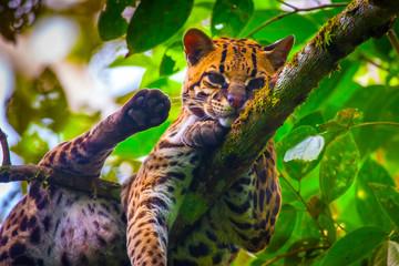 Oncilla. Wild cat. Ecuador. Wood cat.
