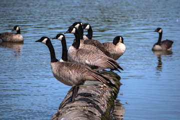 Geese in a lake at George C. Reifel Migratory Bird Sanctuary