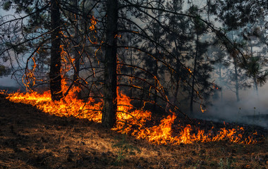 wildfire, burning pine forest .