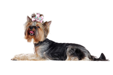 Laying Yorkshire Terrier Side view full length photo over white background looking up