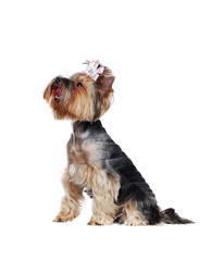 Pretty Yorkshire Terrier side view over white background looking up interested in something