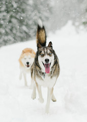 huskies running in snow