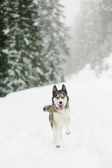 husky running in snow