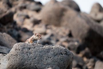 Curious squirrel peeking over a rock