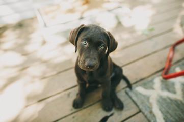 Chocolate Lab Puppy Sitting Down