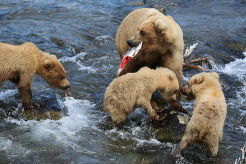 Alaskan Bear Fish Catch