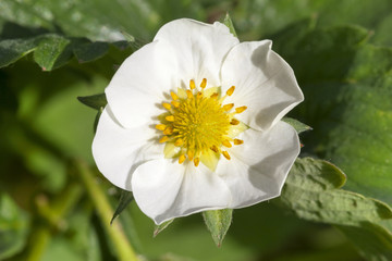 strawberry blossoming