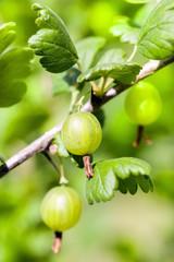 Green ripe gooseberry