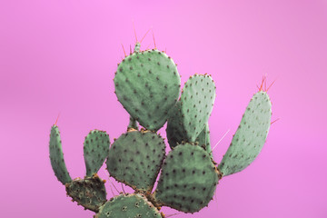 Opuntia Prickly Pear Green Cactus with small sharp thorns. Isolated on pink background.