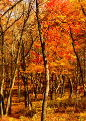 Autumn colors shown on footpath in an Indiana Dunes forest