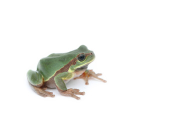 a green treefrog Hyla annectans