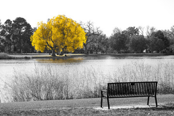 Golden yellow tree in black and white landscape scene with an empty park bench overlooking the water