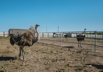 Picturesque poultry farm. Family of ostriches in the enclosure