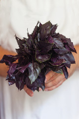 a bunch of fresh purple basil in hand, close-up