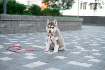 Little puppy husky dog on the street