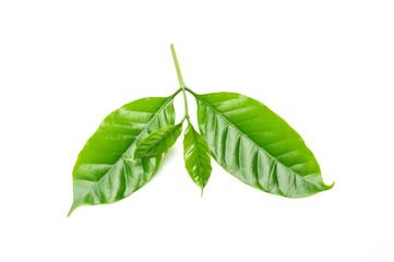 arabica coffee leaf on a white background.