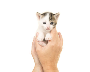 Hands holding a three weeks old baby cat on a white background
