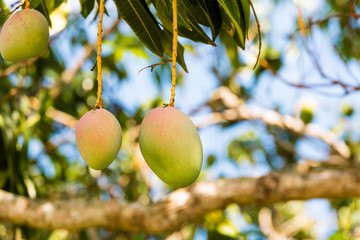 Fruits of mango on a branch of a tree with a blurred background, Vinales, Pinar del Rio, Cuba. Close-up.