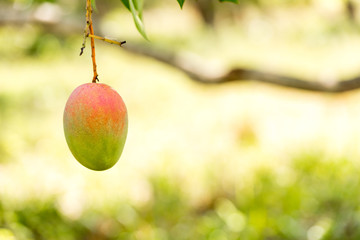 Mango on a tree branch with a blurred background, Vinales, Pinar del Rio, Cuba. Close-up. Copy space for text.