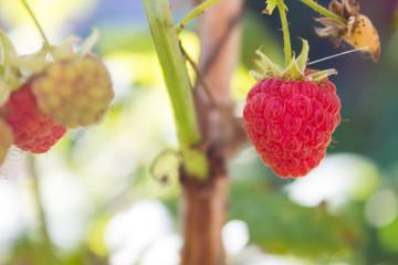 Raspberry bush (Rubus idaeus). Organic ripe  red and green raspberries, grown in the garden.