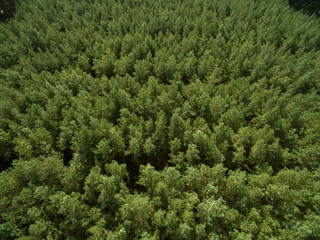 aerial view  of green pine tree forest in european - top view