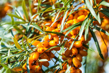 Orange berries of a sea-buckthorn
