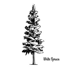 Vector sketch illustration. Black silhouette of White or Black Hills Spruce isolated on white background. Drawing of coniferous plant, South Dakota state symbol, Manitoba provincial tree.