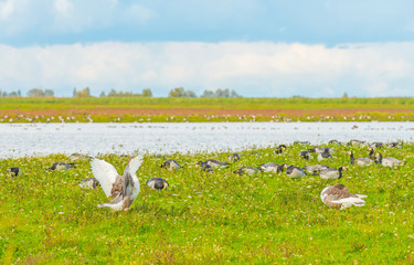 Geese in a green field along a lake in summer