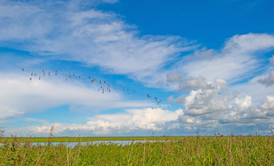 Geese flying over nature in sunlight in summer