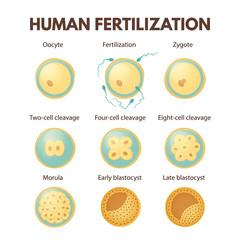 Human fertilization