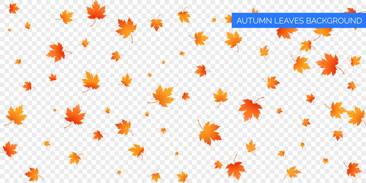 Autumn falling leaves on transparent background. Vector autumnal foliage fall of maple leaves. Autumn background design