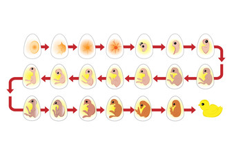 Vector of egg life